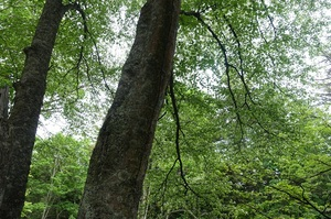 新緑の阿寒の森