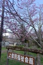 いよいよ桜