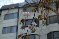 エゾヤマザクラ開花♪