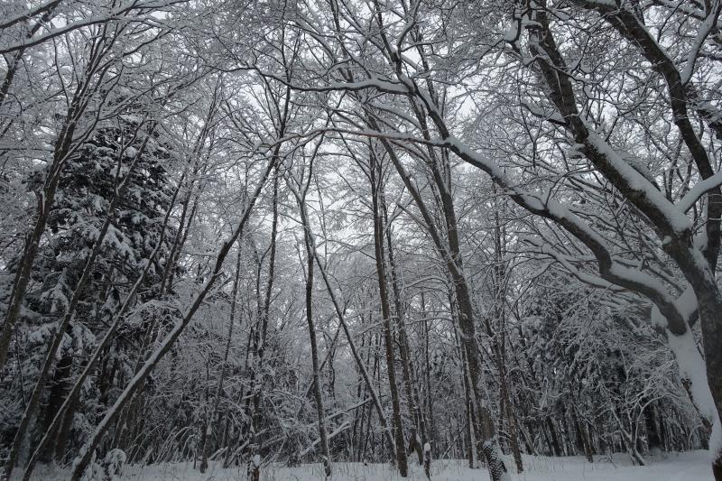 雪が降った直後の阿寒湖ボッケの森